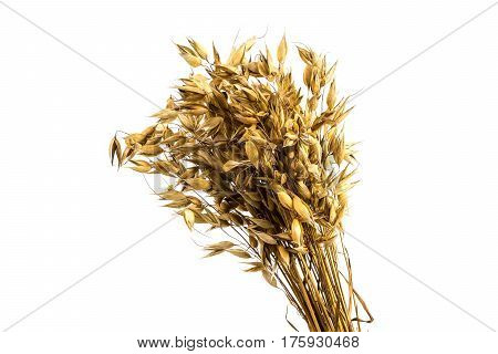 Oat bunch isolated on white background. Grain bouquet. Golden oats spikelets.