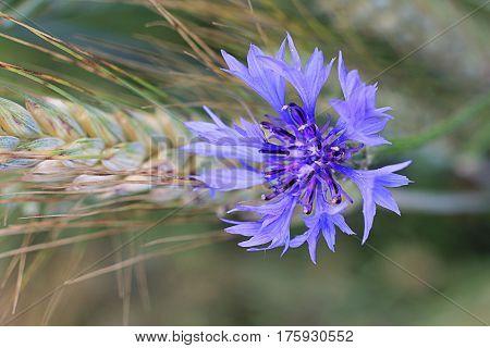 Field flower of cornflowers spikelet wheat close-up