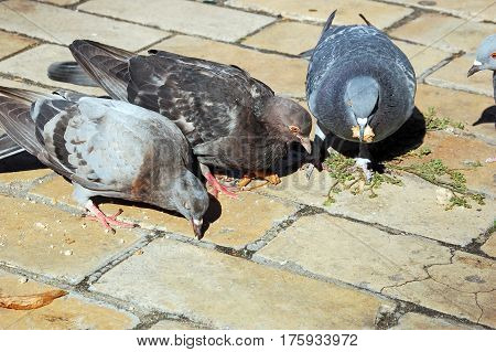 Flock of pigeon feeding on flagstone in city street