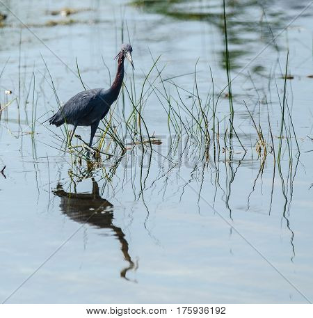 A side vies of a little blue heron wading in a pond with its reflection