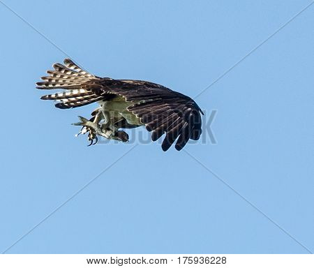 An osprey as it takes off with a fish in its talons