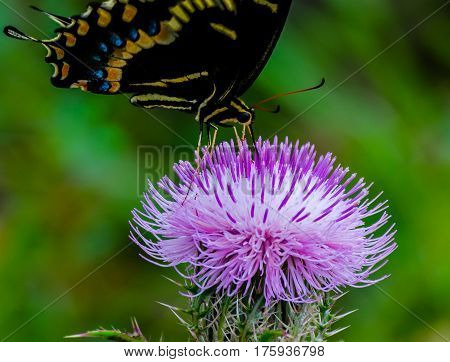A close up of a spicebush swallowtail butterfly as it sucks nectar through its proboscis on a purple thistle flower