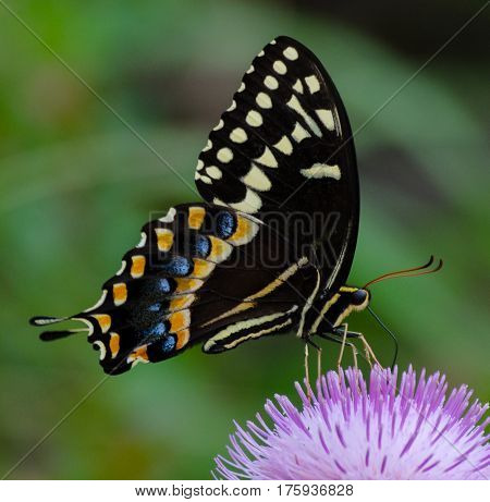 A spicebush swallowtail butterfly with its proboscis inserted in a purple thistle flower