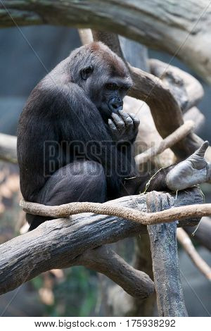 Big black western lowland gorilla as an herbivorous ape sits on the tree in zoo on hot summer day.