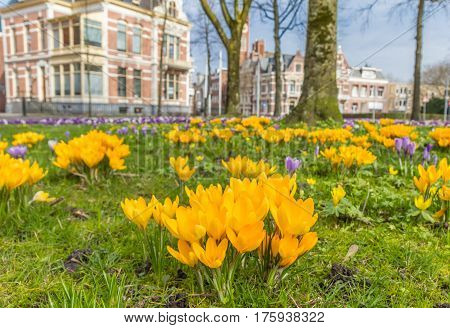 Yellow crocusses in a park in Groningen The Netherlands