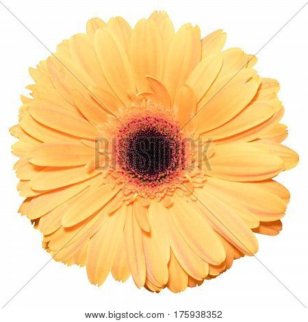 One orange transvaal daisy flower isolated in white background