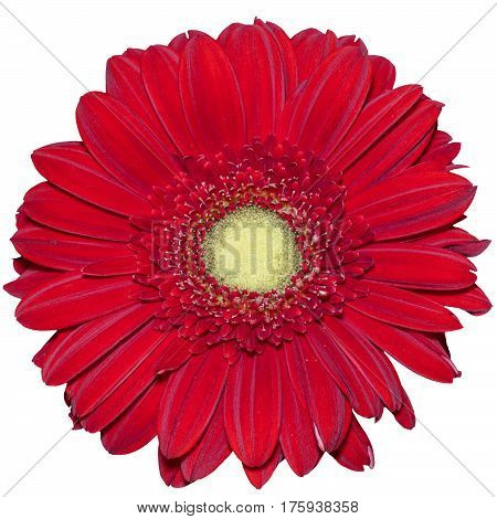 Red transvaal daisy flower isolated in white background