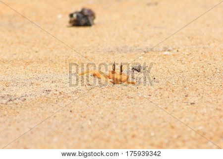 small crab is skulking in sand. Indian sea