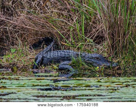 AN ALLIGATOR LYING IN WAIT ON THE EDGE OF A POND WITH LILY PADS