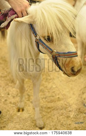 Little beautiful white pony horse head and mane