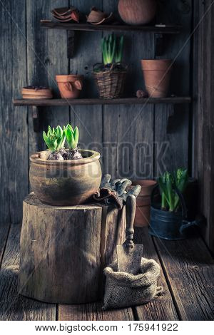 Planting A Green Crocus And Fertile Dark Soil