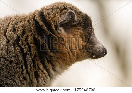 Mongoose lemur (Eulemur mongoz) showing canine in profile. Male arboreal primate in the Lemuridae family native to Madagascar and the Comoros Islands