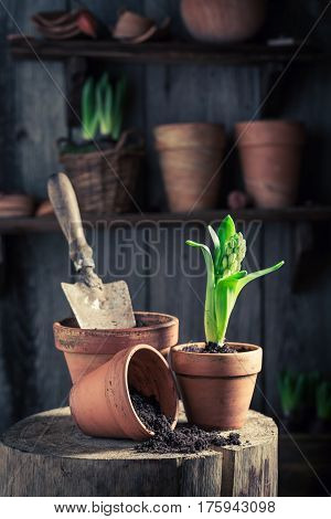 Planting A Green Crocus In The Rustic Cottage