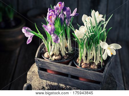 A Young Colourful Hyacinth In An Old Wooden Shed