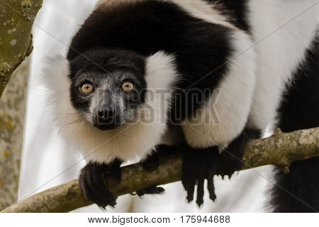 Black-and-white ruffed lemur (Varecia variegata) head on. Critically endangered lemur endemic to the island of Madagascar and the largest extant member of the family