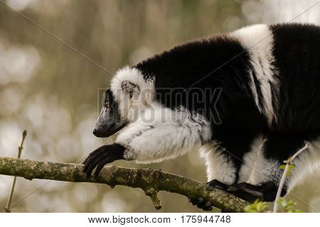 Black-and-white ruffed lemur (Varecia variegata) climbing. Critically endangered lemur endemic to the island of Madagascar and the largest extant member of the family