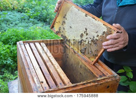 Close up on Beekeeping. Beekeeper holding with his hands frame of honeycomb from beehive with working honey bees.