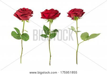 Set of three luxurious dark-red roses on a long stem with green leaves isolated on white background side view