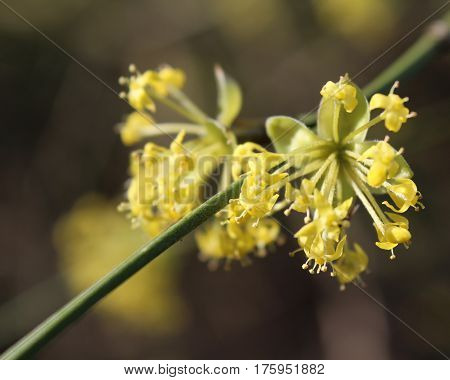 The early bright yellow flowers of Cornus mas also known as Cornelian cherry, European cornel or Cornelian cherry dogwood, sunlit against a dark background.