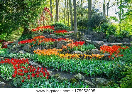 Keukenhof park, Netherlands. Flower bed of colourful tulips in spring. Colorful tulips in the Keukenhof park, Netherlands. Fresh blooming tulips in the spring garden. Blooming flowers in Keukenhof.