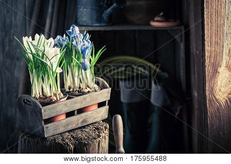 Repotting A Colourful Hyacinth And Old Clay Pots