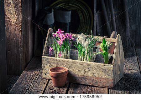 A Young Colourful Hyacinth In An Old Wooden Box