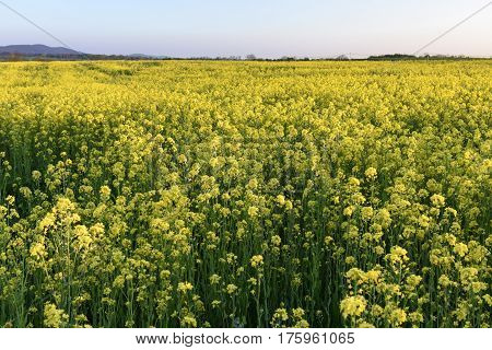 Field of Yellow Flowers in Spring - Canola Field
