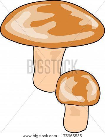 The big brown mushrooms. The boletus. Porcini.
