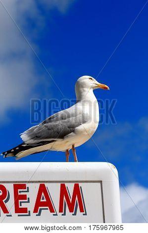 Herring gull standing on top of an ice cream stall