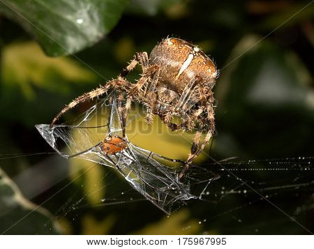 Harvestman spider falls prey to a diadem spider