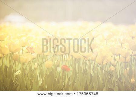 Beautiful Yellow Flowers In The Field