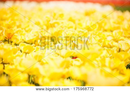 Yellow Flowers In The Field