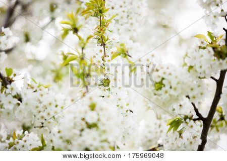 Tree Flowers In Blossom