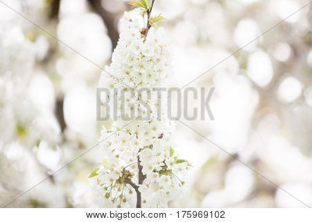 Tree Flowers In Blossom With Light Leaks From The Sun