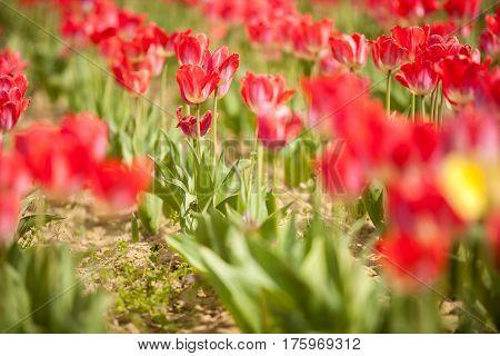 Red Beautiful Flowers In Field
