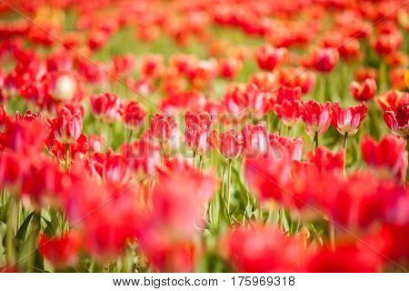 Beautifu Redl Flowers In The Field