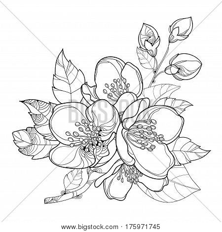 Vector branch with outline Jasmine flowers, bud and leaves isolated on white background. Floral elements for spring design and coloring book. Bunch of jasmine flower in contour style.