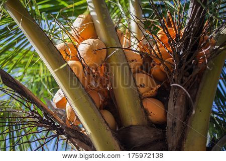 fresh coconuts weigh on the palm tree . close up