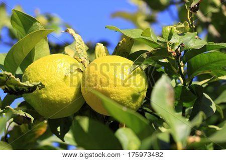 Yellow Spanish lemons growing on the tree