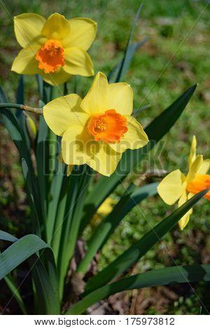 bicolored trumpet daffodils in full sun in the garden