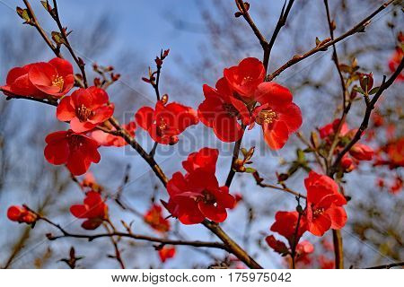 bright red flowers of the spitfire flowering quince on a background of blue sky