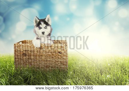 Image of cute husky puppy looking at the camera while sitting inside the wicker basket with a blue light glitter background