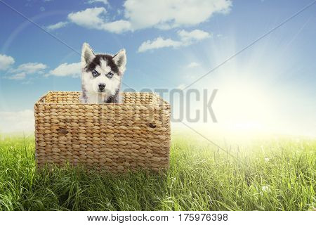 Picture of cute husky puppy sitting inside the wicker basket with bright sunlight in the meadow