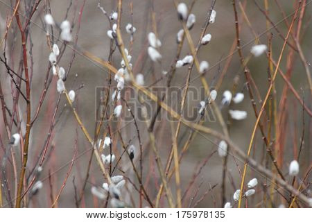 Pussy Willow (Salix discolor) budding in Late Winter along a roadside ditch in South-Eastern Ontario.