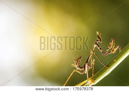close up mantis in beautiful magical background
