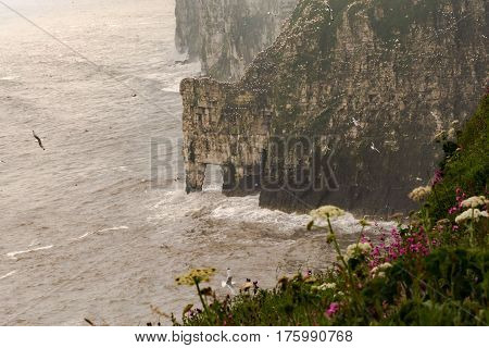 Colony Of Seabirds On The Rugged Cliffs At Bempton Cliffs,uk