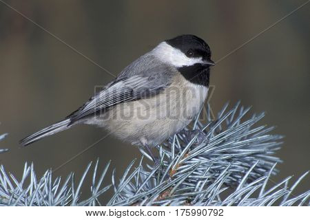 A Carolina Chickadee, Poecile carolinensis on a branch in winter