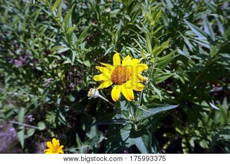 A prairie rosinweed flower (Silphium integrifolium), also known as the whole-leaf rosinweed and the entire-leaf rosinweed, blooms during June in Joliet, Illinois.