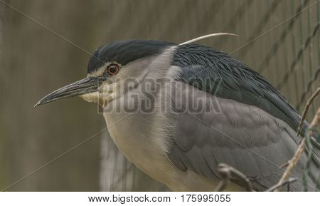 Night heron in ZOO Decin in spring nice day