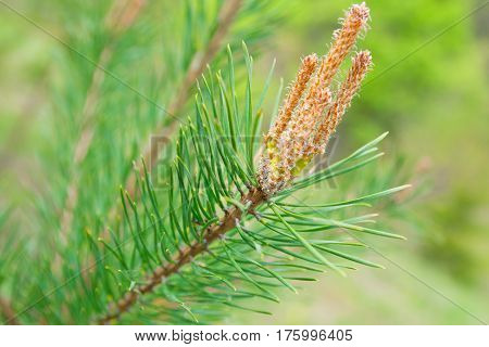 Bright green needles of a fir-tree. Spring in nature.